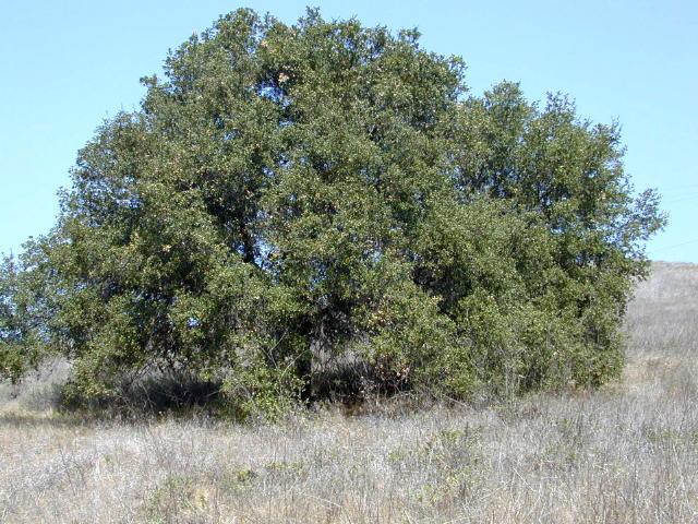Quercus agrifolia - California Quercus Agrifolia