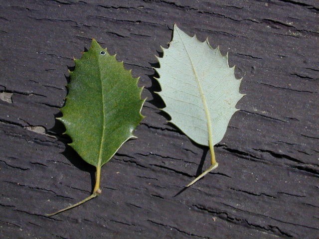 Quercus chrysolepis - Canyon live oak (leaves)